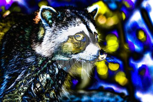 Raccoon - Dave Buttery Photography
