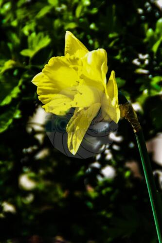 Daffodil - Dave Buttery Photography