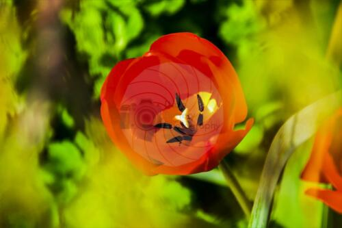 Tulip - Dave Buttery Photography