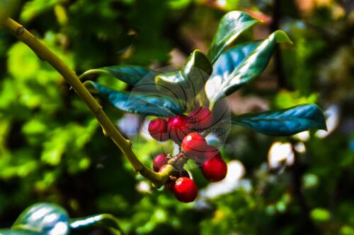 Dave Buttery Photography - Holly Berries
