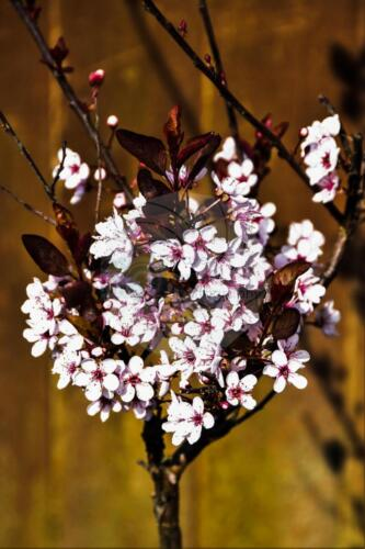 Flowering Japanese Cherry Blossom - Dave Buttery Photography
