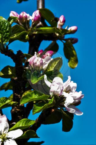 Apple Blossom - Dave Buttery Photography