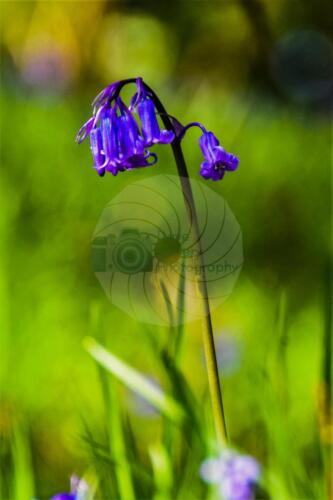 Bluebell - Dave Buttery Photography