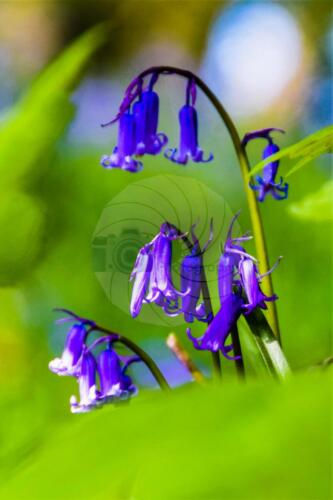 Bluebells - Dave Buttery Photography