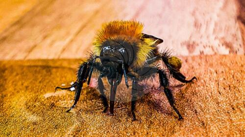 bee drinking - Dave Buttery Photography