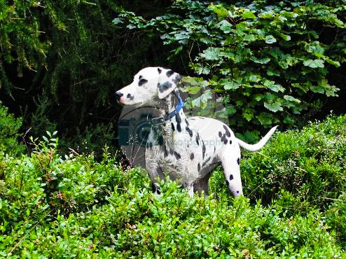 Young Dalmation