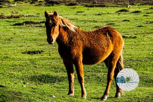 New forest pony - chestnut
